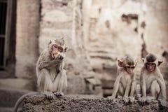 Affe, der Lebensmittel auf Ziegelstein isst Stockbilder