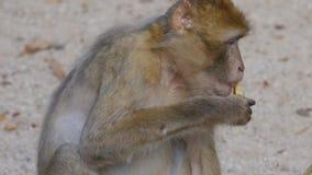Affe, der Lebensmittel isst stock footage