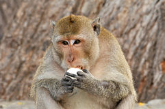 Affe, der Lebensmittel isst Lizenzfreies Stockbild