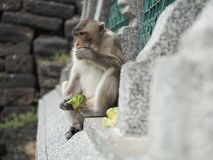 Affe, der Lebensmittel isst Stockfotografie