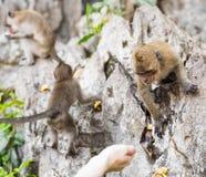Affe, der Lebensmittel von der Hand des Menschen nimmt Lizenzfreie Stockfotografie