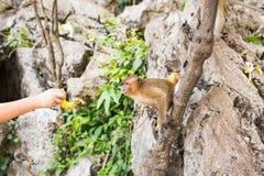 Affe, der Lebensmittel von der Hand des Menschen nimmt Stockbild