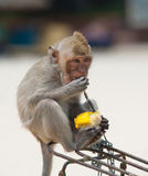 Affe, der Mais isst Stockfoto