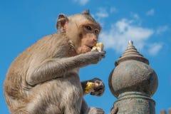 Affe, der Mais und blauen Himmel isst Stockfotos