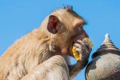 Affe, der Mais und blauen Himmel isst Stockfotografie