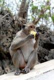 Affe, der Mango isst Lizenzfreie Stockfotografie