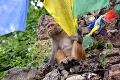 Affe, der mit buddhistischer Gebetsflagge spielt Stockbilder
