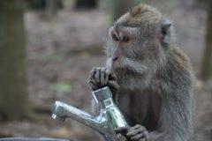 Affe, der mit Hahn spielt Stockfotografie