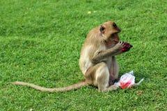 Affe, der mit Kohlensäure durchgesetztes alkoholfreies Getränk isst Stockfotografie