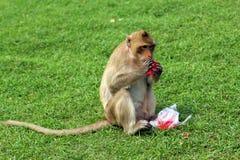 Affe, der mit Kohlensäure durchgesetztes alkoholfreies Getränk isst Lizenzfreies Stockbild