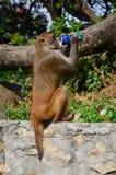 Affe, der mit Kohlensäure durchgesetztes alkoholfreies Getränk trinkt Stockfotos