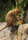 Affe, der mit Kohlensäure durchgesetztes alkoholfreies Getränk trinkt Stockbilder