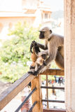Affe, der mit Neugier anstarrt Stockbild