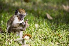 Affe, der mit seinem Fuß spielt Lizenzfreie Stockfotografie