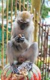 Affe, der Nüsse isst Lizenzfreies Stockfoto