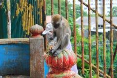 Affe, der Nüsse isst Stockfoto