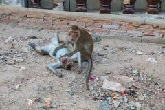 Affe, der nach Floh sucht Stockfotos