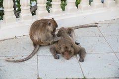Affe, der nach Floh sucht Lizenzfreie Stockfotografie