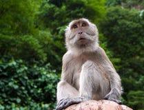 Affe, der nach vorn sitzt und schaut Lizenzfreie Stockfotos