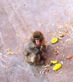 Affe, der nahe bei seinem Lebensmittel sitzt Stockbild