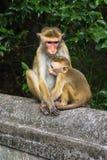 Affe in der natürlichen Einstellung mit Jungen Stockfoto
