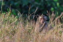 Affe in der Natur Stockfotografie