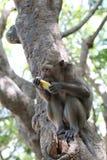 Affe in der Natur Frucht essend Stockfotografie