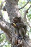 Affe in der Natur Frucht essend Lizenzfreies Stockbild