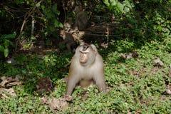 Affe in der Natur, Thailand Stockfotografie