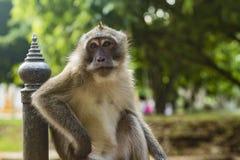 Affe, der neben einem Pfosten kühlt Lizenzfreie Stockbilder