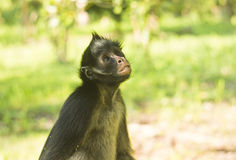 Affe, der oben mit grünem Hintergrund schaut Stockbild