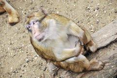 Affe, der oben schaut Stockfotos