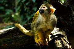 Affe, der oben schaut Lizenzfreie Stockfotos