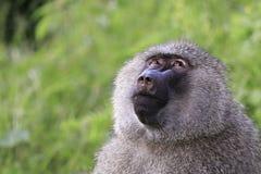 Affe, der oben zum Himmel schaut Lizenzfreie Stockfotos