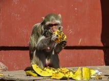 Affe, der Papaya isst Stockbild