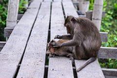 Affe, der Parasiten auf seinem Kameraden überprüft Lizenzfreie Stockfotos