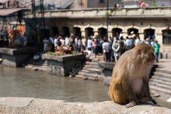 Affe, der an Pashupatinath-Tempel sitzt Lizenzfreies Stockfoto