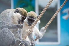 Affe, der Popcorn isst Lizenzfreie Stockfotos