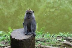 Affe, der in Puncak, Indonesien sitzt Stockfoto