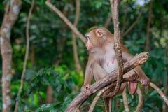 Affe, der rechts schaut Stockfotografie