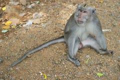 Affe, der Reißzähne zeigt Lizenzfreies Stockfoto