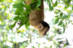 Affe, der am Reisebaum unten schaut hängt lizenzfreies stockbild