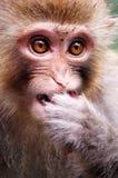 Affe, der rote Lorbeere isst Lizenzfreie Stockfotografie
