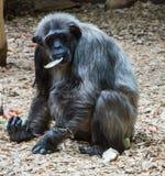 Affe, der Salat isst Stockfoto
