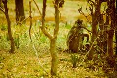 Affe der Savanne Lizenzfreies Stockfoto