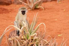 Affe in der Savanne in Afrika Lizenzfreie Stockfotos