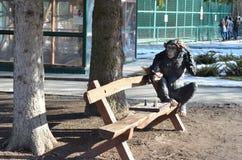 Affe, der Schach spielt Stockfotografie