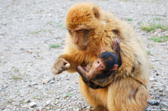 Affe, der sein Baby einzieht Lizenzfreies Stockfoto
