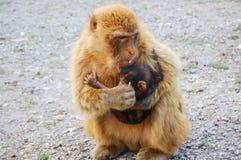 Affe, der sein Baby einzieht Stockfoto
