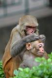Affe, der sein Baby entlaust Lizenzfreies Stockbild
